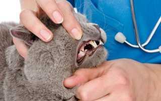Пародонтит у кошек лечение